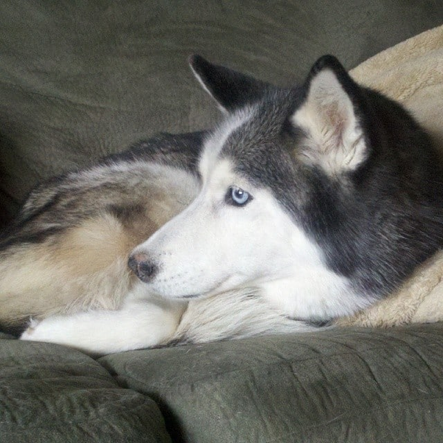 For those of you new to us, this is Shiloh. She passed away at the age of 11 on Jan 17, 2013. Almost one year ago. She was our first Husky. The one that started it all. We do have many videos of her at www.YouTube.com/GonetotheSnowDogs and we are so thankful that we do! Love you and miss you Shiloh