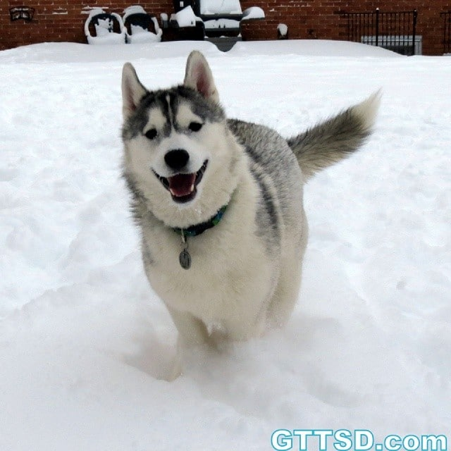 ! Happy middle of the week! Memphis is jumping for joy! Www.YouTube.com/GonetotheSnowDogs Check out our Channel