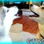 Siberian Husky HOWLING Dog Howl *SNOW DOG SHORT 25*