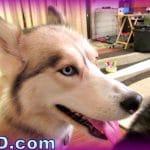 Huskies and Kids? Destructive Puppies? Fan Friday 151