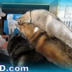 PetBox UNBOXING | Happy Huggy Husky Puppy