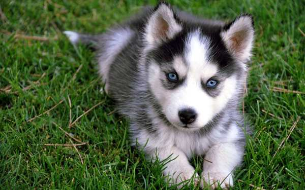 Abandoned Husky Puppy