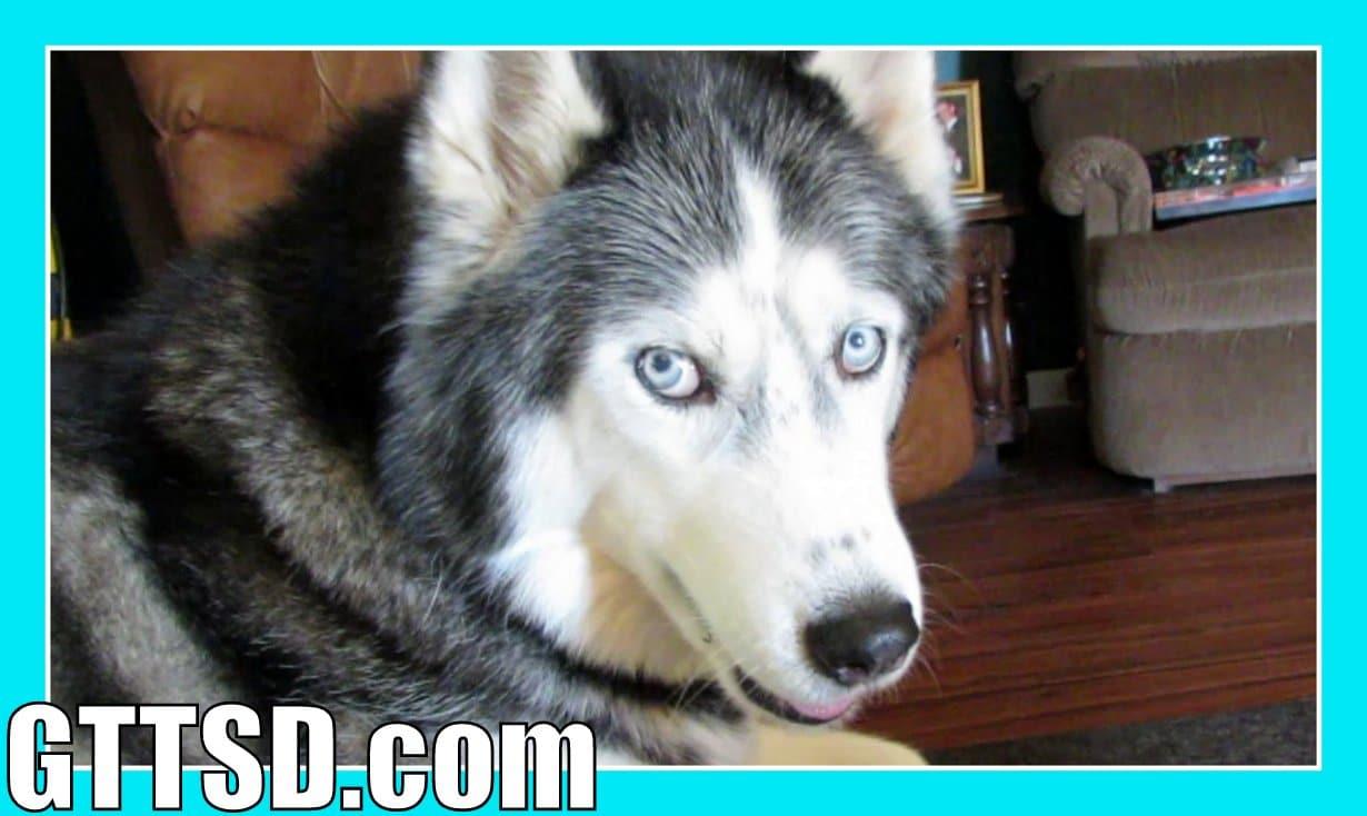 Siberian Husky Oakley