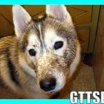 Siberian Husky Bath MUDDY BAD DOG
