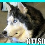DOG DNA TEST | OAKLEY Siberian Husky? Malamute? or Mix?