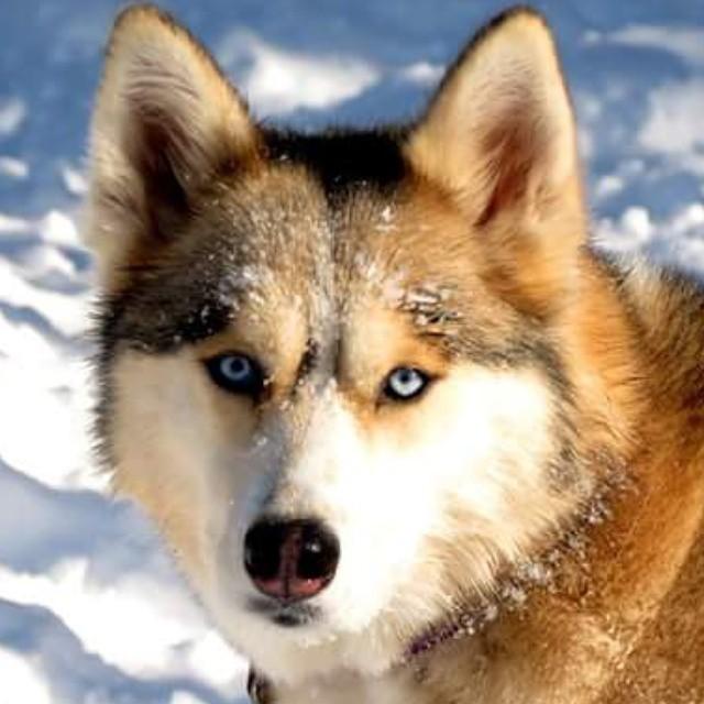 Hello there Shelby! #GonetotheSnowDogs #GTTSD #SiberianHusky #huskyofinstagram...