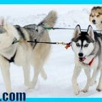 DOG SLEDDING Husky Puppy First time Pulling