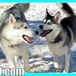 Husky Puppy Nora plays with the Pack!