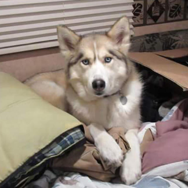 This was taken when we were #camping . Shelby decided to steal all the blankets and the bed before Greg even got it made! #DivaDog hehehe#GonetotheSnowDogs #GTTSD #SiberianHusky #huskyofinstagram #husky #dog #cutedog #campingdog #youtube #Youtuber
