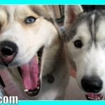 ARE HUSKIES WOLVES?
