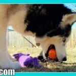 EASTER EGG HUNTING FOR DOGS?