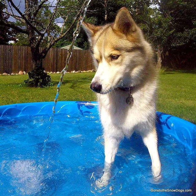 Fun with the new @gopro testing out photos! #GoPro #HERO4Session #newgopro Shelby loves hose heheSubscribe to us at YouTube.com/GTTSD check it out! #GonetotheSnowDogs #GTTSD #SiberianHusky #husky #huskyofinstagram #dog #dogsofinstagram #snowdog #happydog #youtube #youtuber #Pawdience