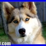 HUSKY GOES SHOPPING | Pet Store Trip for the Dogs
