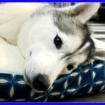 Spring Cleaning with the Huskies |Petco Giveaway
