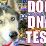 Day 8 DOG DNA TEST from EmbarkVet #12DaysofGiveaways