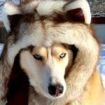 Day 5 Brown Husky Spirithood #12DaysofGiveaways