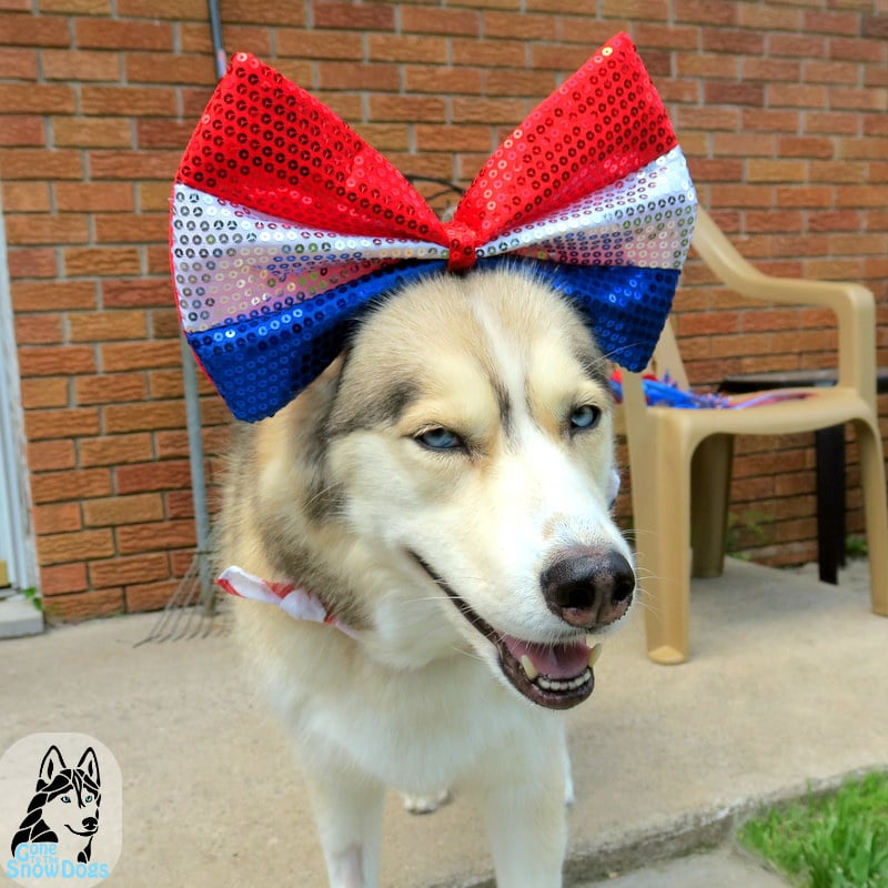Huskies on 4th of July