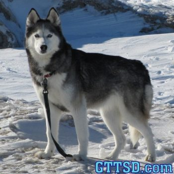 Today would have been Shiloh's 12th birthday. For those of you that don't know, Shiloh was our first Husky and she passed away on Jan 17, 2013. She was the dog that started it all. When people ask why huskies... Shiloh is why. Miss you girl!